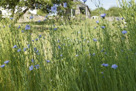 Flax Flower Bed With Studio In Background